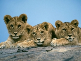 Sleepy Lion Cubs Wallpaper Big Cats Animals