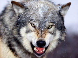 Snarling Gray Wolf Wallpaper Wolves Animals