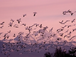 Snow Geese Wallpaper Birds Animals