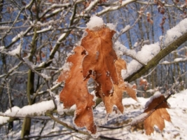 Snow Leaf Wallpaper Winter Nature