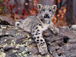 Snow Leopard Cub Wallpaper Baby Animals Animals