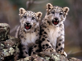 Snow Leopard Cubs Wallpaper Baby Animals Animals