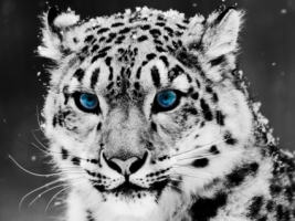 Snow Leopard Wallpaper Big Cats Animals