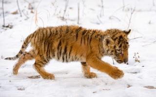 Snow Tiger Cub