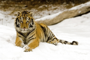 Snowy Afternoon Tiger
