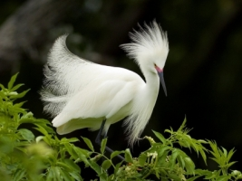 Snowy Egret in Breeding Plumage Wallpaper Birds Animals