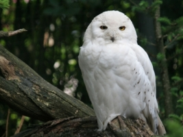 Snowy Owl Wallpaper Birds Animals