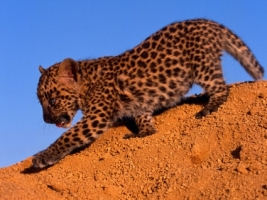 Spotted Leopard Cub Wallpaper Baby Animals Animals