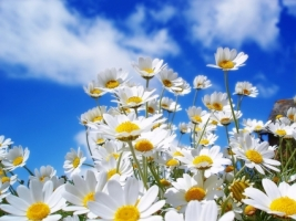 Spring Daisies Wallpaper Flowers Nature