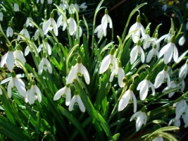 Spring Snowdrops Wallpaper Spring Nature