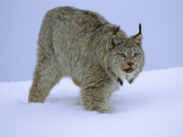 Stalking Canada Lynx Wallpaper Big Cats Animals