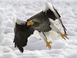 Steller s Sea Eagle Wallpaper Birds Animals