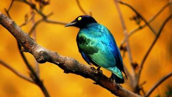 Strange Bird HD