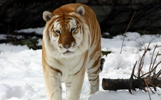 Strange Snow Tiger