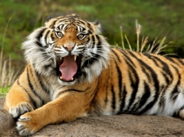 Sumatran Tiger Wallpaper Tigers Animals