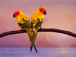 Sun Conure Parrots Wallpaper Parrots Animals
