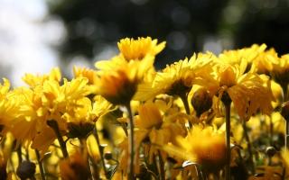Sun Flowers Belt