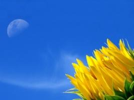 Sunflower Wallpaper Plants Nature