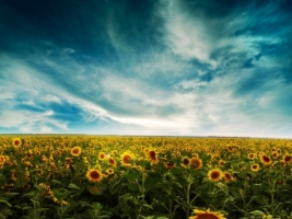 Sunflowers Land Wallpaper Flowers Nature