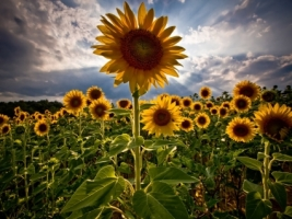 Sunflowers Wallpaper Flowers Nature