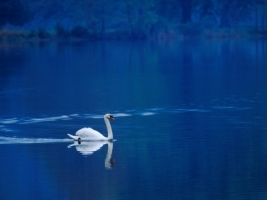 Swan Lake Wallpaper Birds Animals