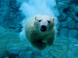 Swimming Polar Bear Wallpaper Bears Animals