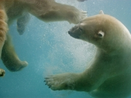Swimming Polar Bears Wallpaper Bears Animals