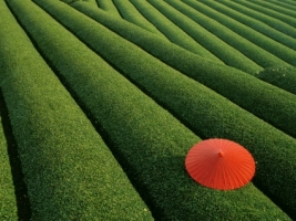 Tea Fields Wallpaper Japan World