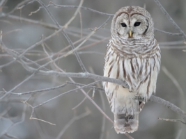 The Barred Owl Wallpaper Birds Animals