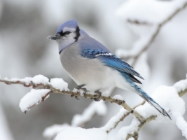 The Blue Jay Wallpaper Birds Animals