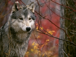 The Lookout Gray Wolf Wallpaper Wolves Animals