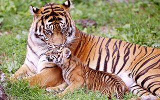 Tiger & Baby Tiger