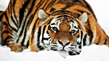 Tiger HD 1080p