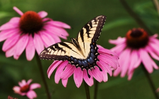 Tiger Swallowtail Butterfly Purple Coneflower