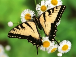 Tiger Swallowtail Butterfly Wallpaper Butterflies Animals