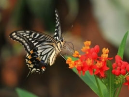 Tiger Swallowtail Wallpaper Butterflies Animals