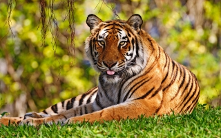 Angry Tiger Wallpapers For Free Download About 155 Wallpapers