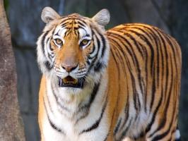 Tigers High Quality
