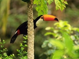 Toco Toucan Wallpaper Birds Animals