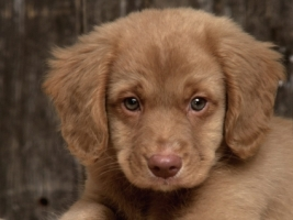 Toller puppy Wallpaper Dogs Animals