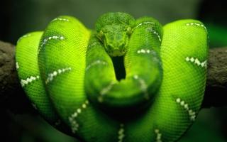 Tree Snake HD