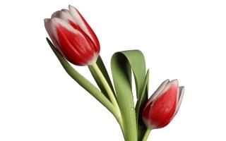 Tulip Model