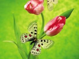 Tulips & Butterfly