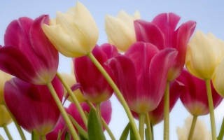Bunga tulip wallpapers for free download about (59) wallpapers.