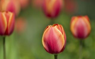 Tulips Macro Shot
