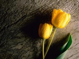 Two Wet Yellow Tulips