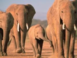 Walking Home Wallpaper Elephants Animals