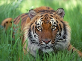 Watchful Eyes Bengal Tiger Wallpaper Tigers Animals