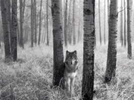 Watchful Eyes in the Wild Wallpaper Wolves Animals