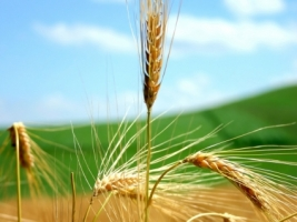 Wheat Wallpaper Plants Nature